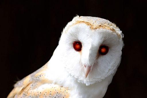 evil barn owl